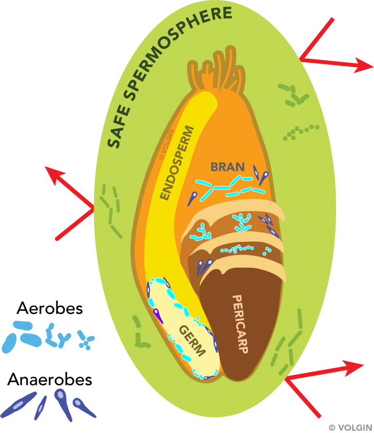 Depiction of spermosphere protecting the grain from pathogens